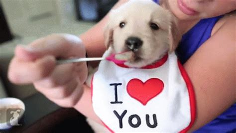 golden retriever puppy gif spoon feeding a baby golden retriever puppy gif nomnomnom puppy discover