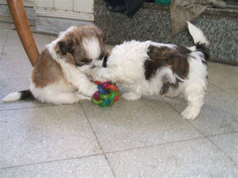 perros miniatura shih tzu imagenes de shitzu imagui