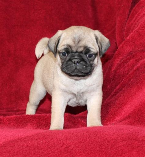 pug breeders in missouri wonderful pug pups craigspets