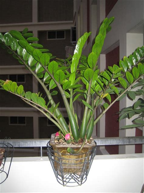 new year plant pictures s new year plant zanzibar gem grows on you