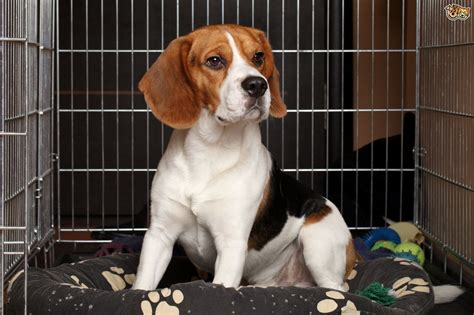 how do you crate a puppy do you use a crate for the right reasons pets4homes