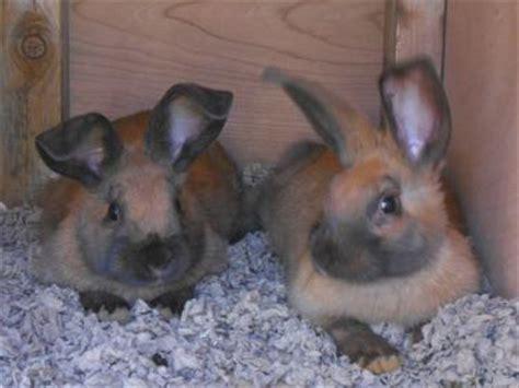 Backyard Bunnies Rabbitry by Jake S Backyard Rabbitry