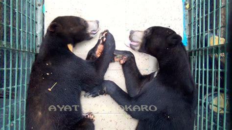 Mini 2 Medan beruang madu ini sitaan dari kebun binatang di medan mongabay co id