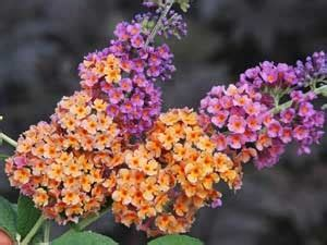 multi colored butterfly bush 1000 images about butterfly bush on sun