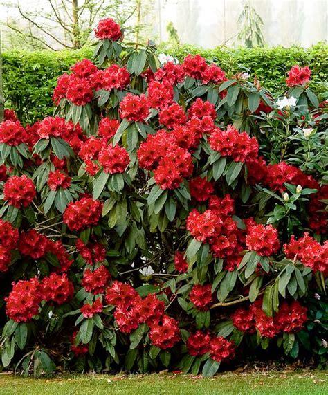 evergreen shrubs shrubs and evergreen on pinterest