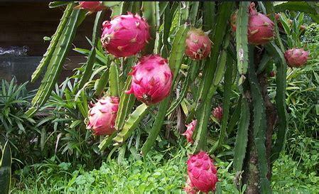 Bibit Buah Naga Banyuwangi 087784795307 cari bibit buah naga banyuwangi jual
