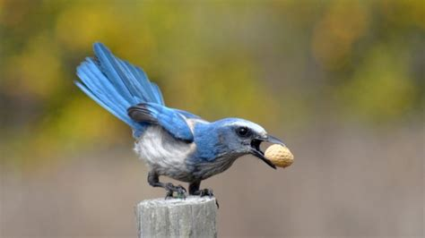 even small scattered florida scrub jay groups are vital