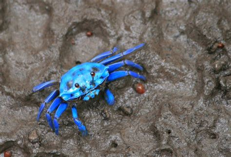 27 best images about blue crabs on pinterest crabs blue crab horoscope cancer pinterest