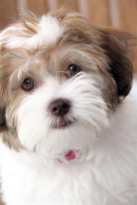 havanese puppies for sale in kansas best 25 havanese puppies for sale ideas on havanese puppies small