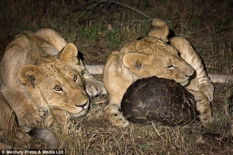 lions outwitted  pangolin   rolls    shell daily mail