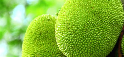 protein jackfruit jackfruits nutritional compositions and uses