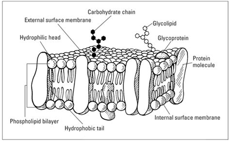 fluid mosaic model   cell plasma membrane dummies