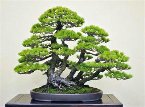 jenis tanaman bonsai  hunian rumahliacom