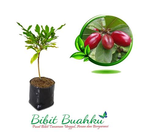 Bibit Buah Miracle bibit miracle fruit miracle berry garansi bibit buahku
