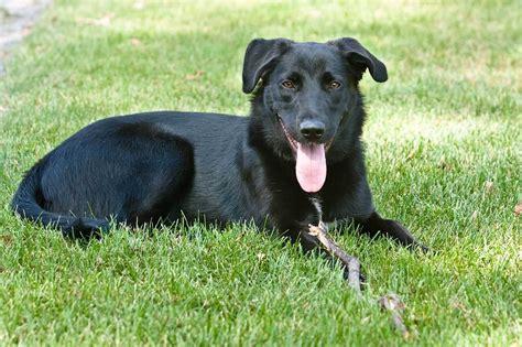 german sheprador puppies zorinth arts and things i like