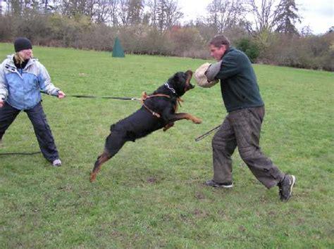 rottweiler schutzhund rottweiler schutzhund fantastic rottweiler service dogs rottweilers