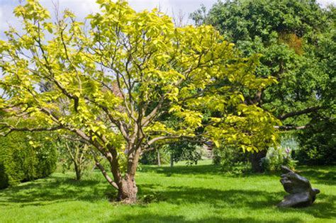 six of the best trees for clay soils garden life