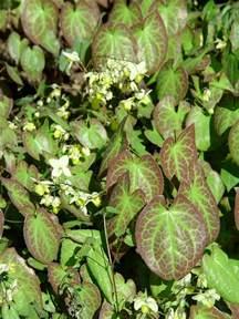 Front Yard Flowers - barrenwort garden housecalls