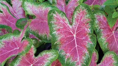 how to grow caladiums southern living