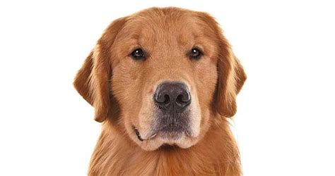 purebred golden retriever rescue golden retriever health care information american kennel club