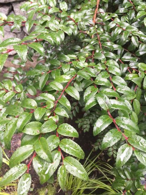 top 28 shrubs for zone 8 best 25 evergreen shrubs
