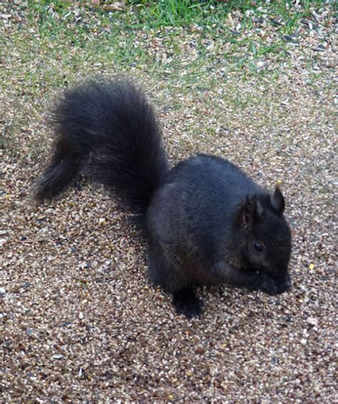 occasional toronto black squirrel