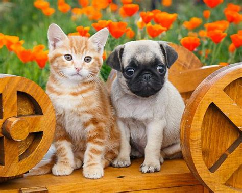 pugs and kittens pug puppy kitten the most adorable pug pictures