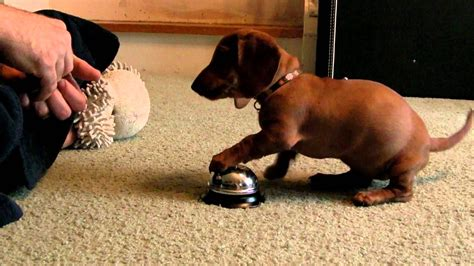 10 week puppy 10 week dachshund puppy quickly figures out that she ll get a treat if she rings