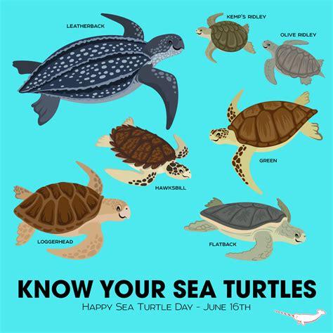 Turtle Sea about sea turtles sea turtle inc