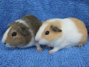 mixed coloured baby guinea pigs marlborough wiltshire