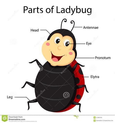 ladybug diagram best photos of parts of a ladybug ladybug cycle