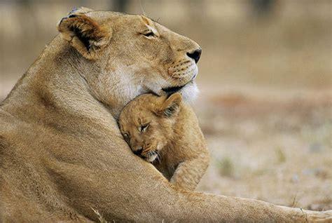 leonessa web leonessa uccisa da bufali cucciolo la veglia natura