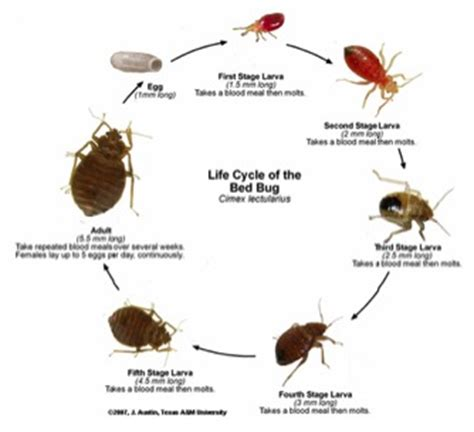 bed bug protocol bed bug protocol 28 images bed bugs other annoying