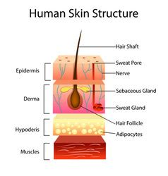 skin layers healthy normal human skin royalty free vector skin layers healthy normal human skin royalty free vector