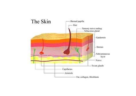 diagram of the dermis uvasol sun lotion all about sun care the sun skin cancer