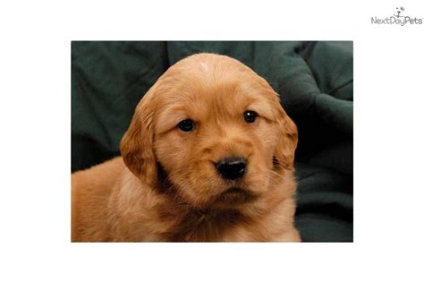 golden retriever breeder st louis golden retriever puppy for sale near st louis missouri 6234a4c4 f7d1