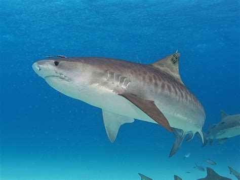 images of sharks 25 tiger shark pictures and hd wallpapers