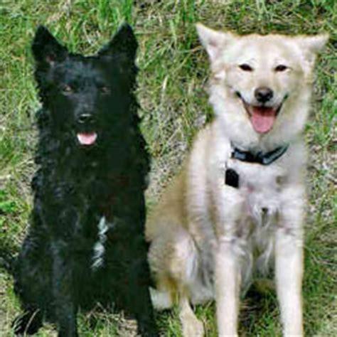 mudi puppies for sale mudi puppies for sale from reputable breeders