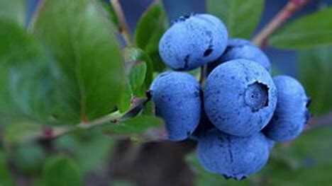 blueberry plants  east tennessee willow ridge