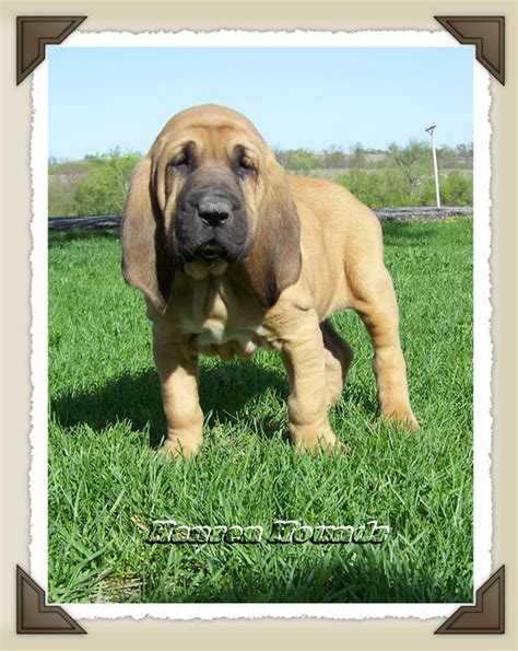 bloodhound puppies for sale in california bloodhound puppy for sale