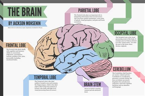 What Are The Four Sections Of The Brain by A Look At The Brain Visual Ly