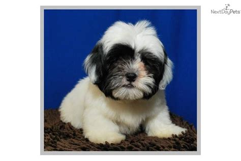 shih tzu poodle mix price shih poo shihpoo puppy for sale near mcallen edinburg 24d1ba67 3521