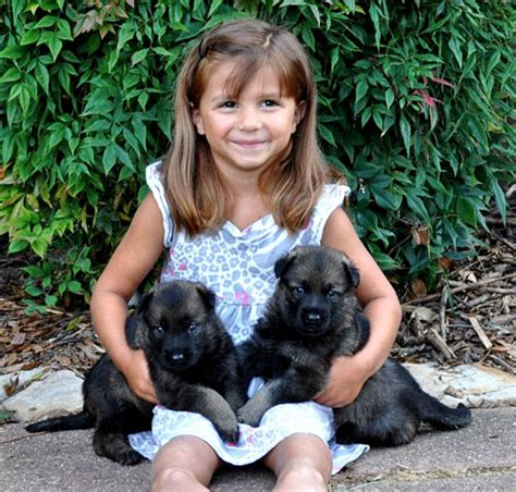 german shepherd puppies nc german shepherd puppies for sale in carolina