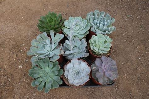 succulent containers for sale big echeveria rosette succulents in plastic 6 quot containers