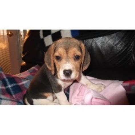 free puppies in fresno pilcher s pups beagle breeder in fresno california listing id 21118