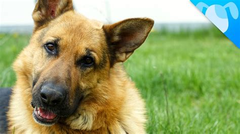 german words for dogs look what we just discovered about german shepherds pawbuzz