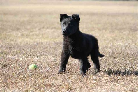 german shepherd puppies for sale in arkansas solid black german shepherd puppies for sale near me merry photo