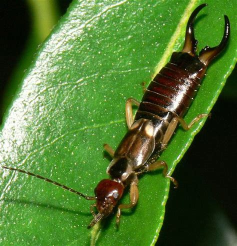 Earwigs In Bathroom by Garden Insect Pest Identification Web