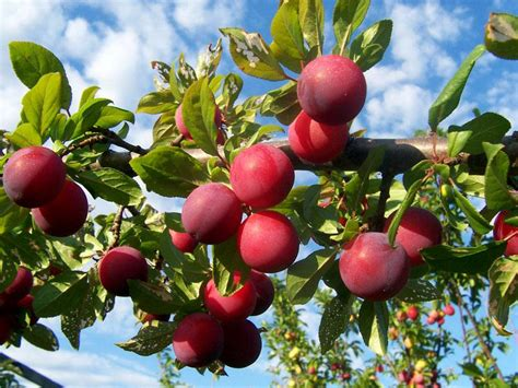 fruit trees in indiana plum santa rosa fruit trees trees plants flowers