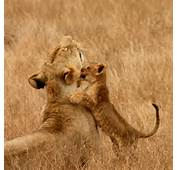Lion Life Cycle For Kids Cubs  All The Important Facts You